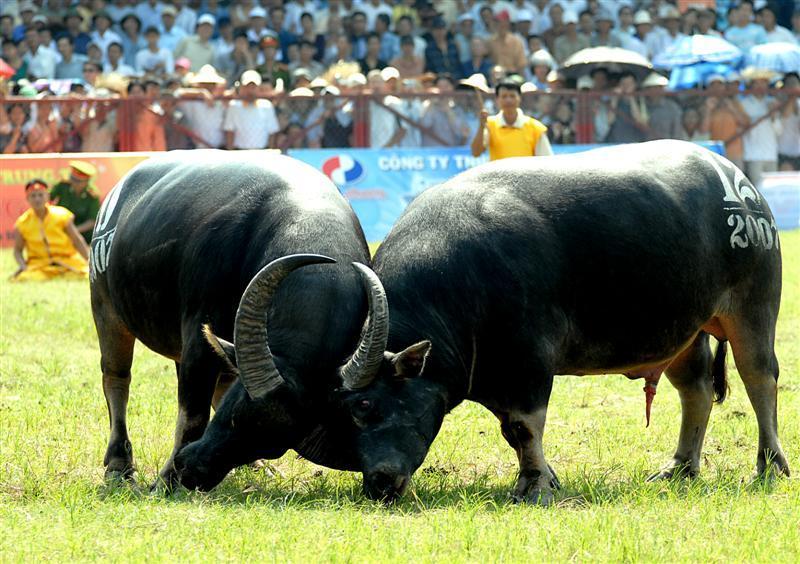 Buffalo-fighting festival – Hai Phong