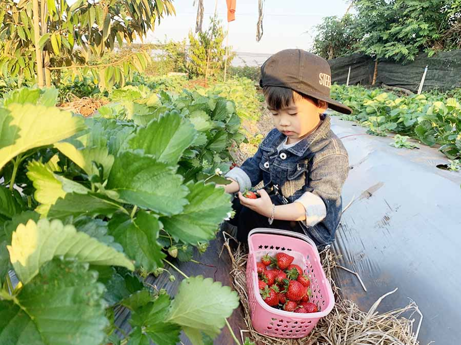 Picking strawberries in Da Lat